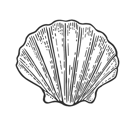 Sea shell Scallop. Color engraving vintage illustration. Isolated on white background. Çizim