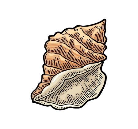 Sea shell. Color engraving vintage illustration. Isolated on white background.