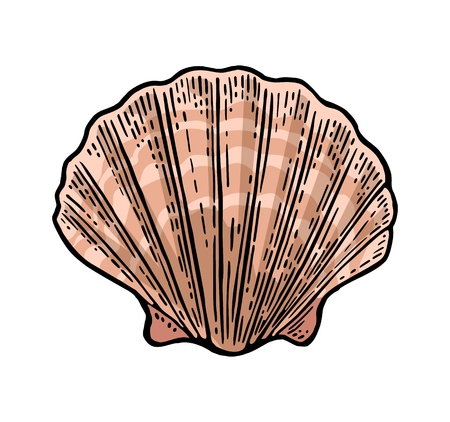 Sea shell Scallop. Color engraving vintage illustration. Isolated on white background. Vettoriali