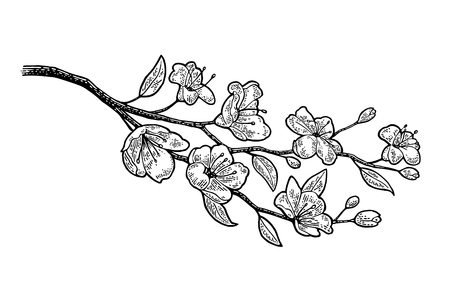 Sakura blossom. Cherry branch with flowers and bud. Vector black vintage engraving illustration. Isolated on white background.