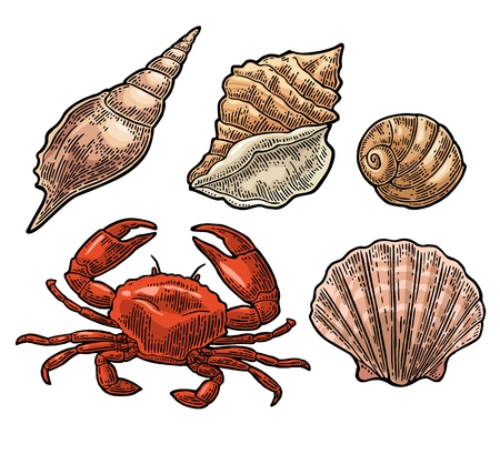 mollusc: Crab and shell isolated on white background. Vector color vintage engraving illustration for menu, web and label. Hand drawn in a graphic style. Illustration