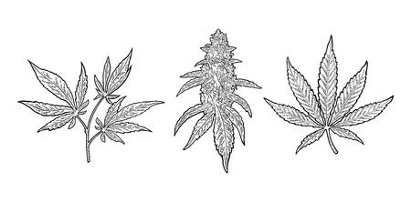 Marihuana volwassen plant met bladeren en knoppen cannabis. Hand getrokken ontwerpelement.