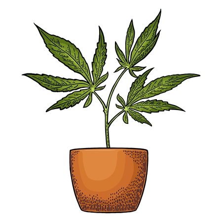 Marijuana plant with leaf in pot. Hand drawn design element cannabis. Vintage black vector engraving illustration for label, poster, web. Isolated on white background Stock Photo
