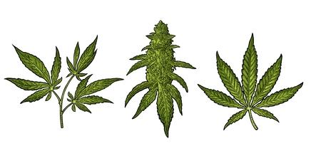 Marihuana volwassen plant met bladeren en knoppen cannabis. Hand getrokken ontwerpelement. Vintage kleur vector gravure illustratie voor label, poster, web. Geïsoleerd op witte achtergrond Stock Illustratie