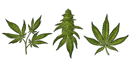 Marijuana mature plant with leaves and buds cannabis. Hand drawn design element. Vintage color vector engraving illustration for label, poster, web. Isolated on white background Ilustração