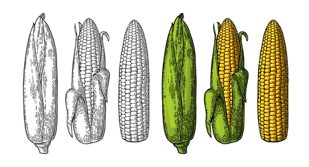 Set ripe cob of corn from the closed to the cleaned. Different degree of purification of the leaves. Vector vintage color and black engraving illustration. Isolated on white background. Vettoriali