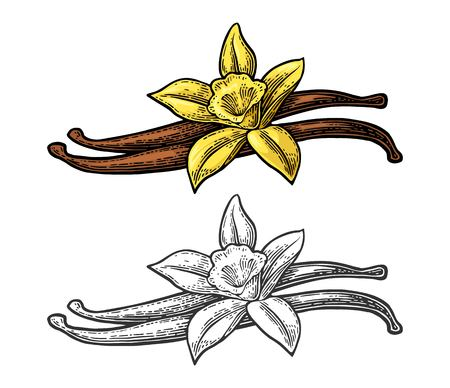 Vanilla stick and flower. Isolated on white background. Vector color and monochrome vintage engraving illustration. Hand drawn design element for label and poster