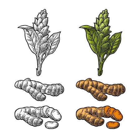 Kurkuma wortel, poeder en bloem. Vector kleur vintage gegraveerd