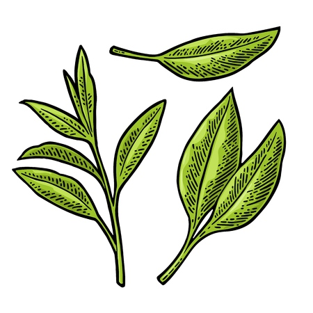 Tea branch with leaves.