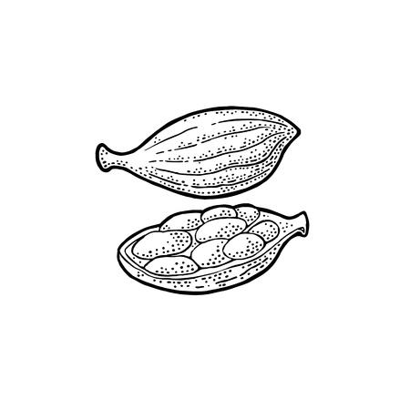 Cardamom spice with seed. Vector vintage engraving Zdjęcie Seryjne - 92779964