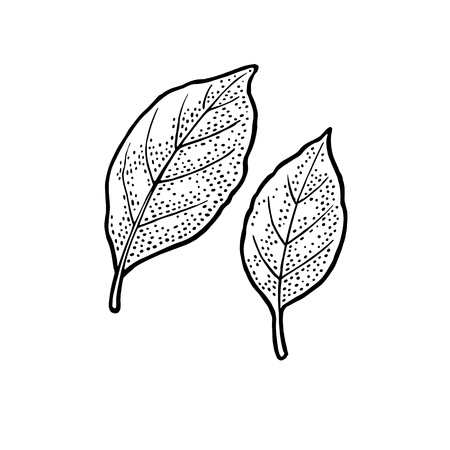 Two bay leaves. Engraving vintage vector black illustration. Isolated on white background.