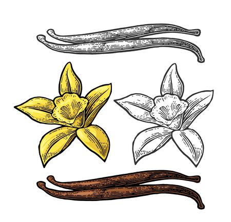 Vanilla stick and flower. Vector color vintage engraving.