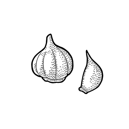 Garlic whole head and clove. Vector black vintage engraving.