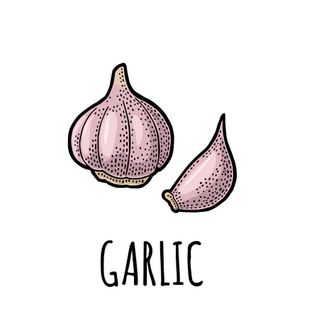 Garlic whole head and clove. Vector color vintage engraving Illustration. Isolated on white background. Hand drawn design element for label, menu and poster
