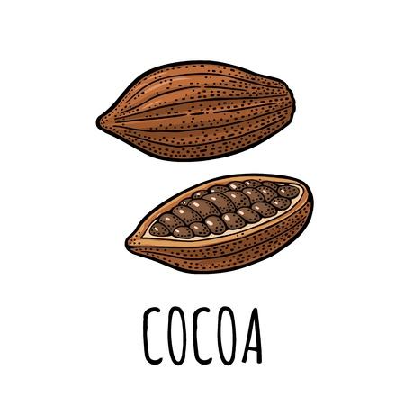 코코아 전체와 콩. 벡터 색 빈티지 조각 그림입니다. 흰색 배경에 고립. 손으로 그린 디자인 요소 레이블 및 포스터 일러스트