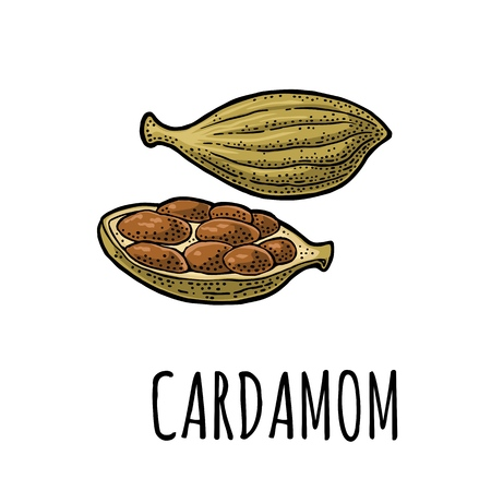 Cardamom spice with seed. Vector vintage engraving