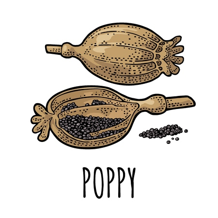 Poppy whole and half heads. Isolated on white background. Vector color vintage engraving illustration. Hand drawn design element for label and poster Ilustração