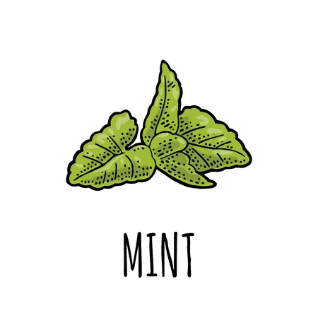 ミントの葉ヴィンテージベクトルカラーイラストを彫刻。白い背景に隔離されています。ラベルとポスター用手描きのデザイン要素