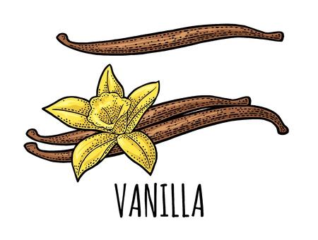 バニラ棒と花。白い背景上に分離。ベクター ブラック ビンテージ彫刻イラスト。ラベルやポスターの手描きデザイン要素