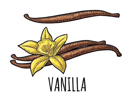 Vanilla stick and flower. Isolated on white background. Vector black vintage engraving illustration. Hand drawn design element for label and poster