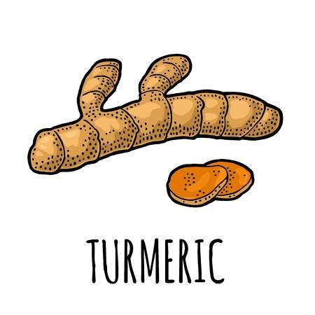 Kurkuma wortel met slice, vector vintage gegraveerd.