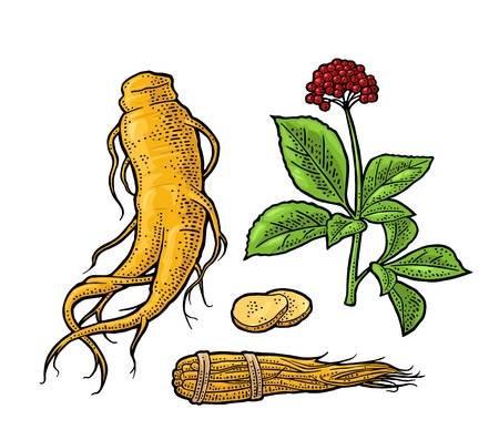 Root, slice, bunch tied by rope, leaves panax ginseng. Vector engraving vintage color illustration plants for traditional medicine label. Isolated on white background. Hand drawn design element Vettoriali