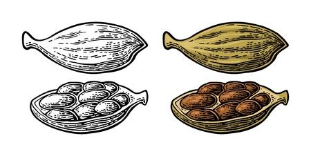 Cardamom spice fruit with seed. Isolated on white background. Fruit whole and opened. Vector color and monochrome vintage engraving illustration. Hand drawn design element for label and poster.