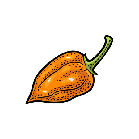 Whole pepper habanero. Vector vintage color engraving illustration for menu, poster, label. Isolated on white background. Hand drawn design element