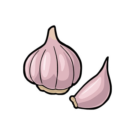 Garlic whole head and clove. Vector color vintage engraving Illustration. Isolated on white background. Hand drawn design element for label, menu and poster.