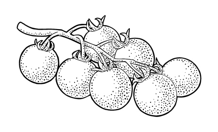 Branch of tomatoes. Vector engraved illustration isolated on white background.