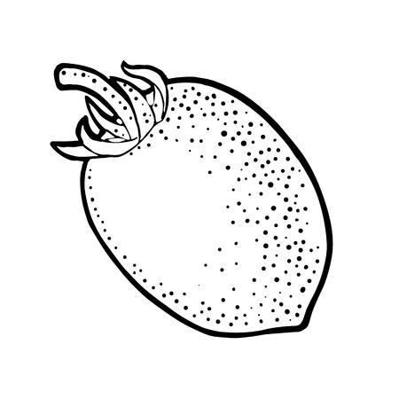 Whole oval tomato. Vector engraved illustration isolated on white background.