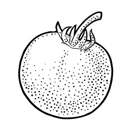 Whole tomato. Vector engraved illustration isolated on white background.