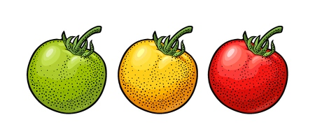 Whole tomato. Engraving vintage vector color illustration. Isolated on white background.