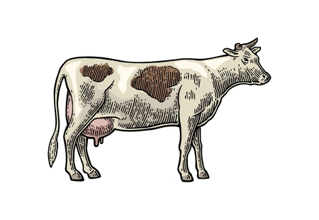 Cow hand drawn in a graphic style. Vintage vector engraving illustration for info graphic, poster, web. Isolated on white background. Illustration
