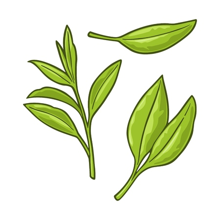 Tea branch with leaves. Vector color vintage illustration for label, poster, web. Isolated on white background. 向量圖像