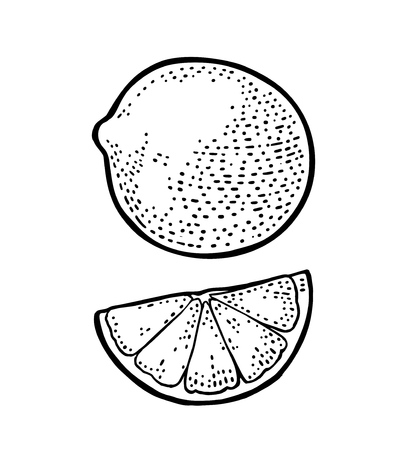Lemon slice and and whole. Isolated on white background. Vector black vintage engraving illustration. Hand drawn design element for label and poster  イラスト・ベクター素材