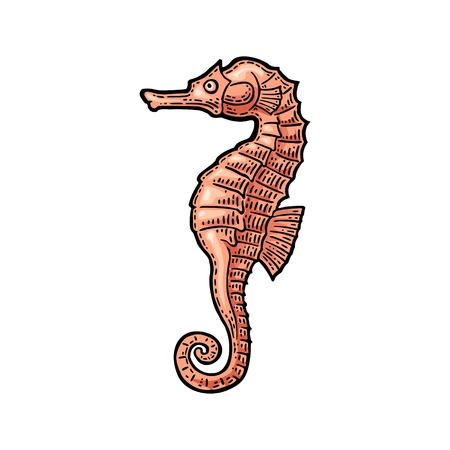 Sea Horse. Vector color engraving vintage illustrations. Isolated on white background.