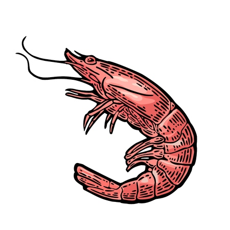 Shrimp isolated on white background. Vector color vintage engraving illustration for menu, web and label. Hand drawn in a graphic style.