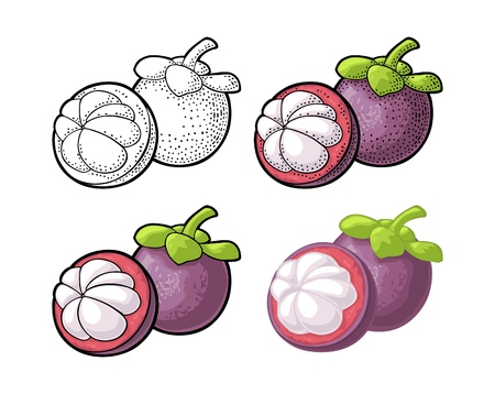 Whole and half mangosteen. Vector vintage engraving and flat Illustration