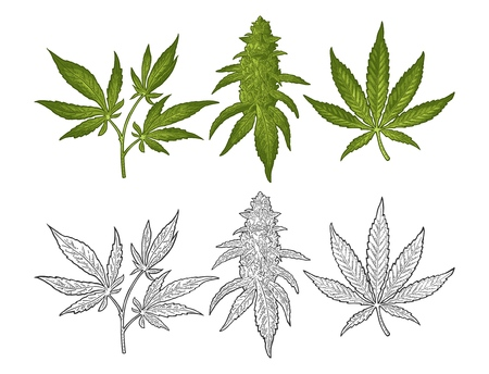 Marijuana mature plant with leaves and buds cannabis. Hand drawn design element. Vintage color vector engraving illustration for label, poster, web. Isolated on white background Vettoriali