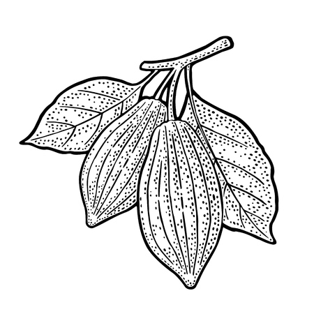 Leaves and fruits of cocoa beans. Vector vintage engraving illustration. Isolated on white background. Hand drawn design element for label and poster