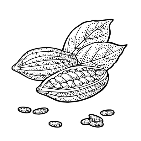 Fruits of cocoa with leaves and beans. Vector vintage engraving illustration. Isolated on white background. Hand drawn design element for label and poster Stock Illustratie