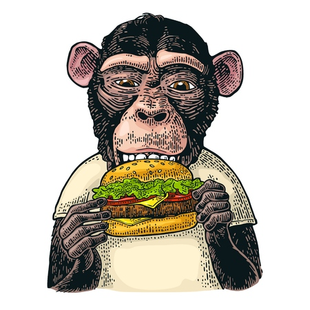 Monkey wearing a t-shirt eating a hamburger burger. Vintage color engraving illustration for poster. Isolated on white background