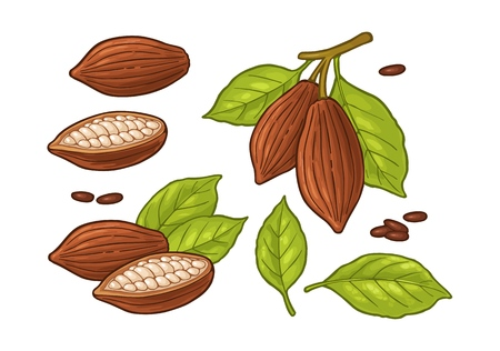 Leaves and fruits of cocoa beans. Vector vintage color illustration. Isolated on white background. Hand drawn design element for label and poster  イラスト・ベクター素材