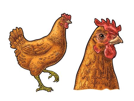 Hähnchen. Handgezeichnet in einem grafischen Stil. Weinlesefarbvektorstichillustration für Plakat, Netz. Isoliert auf weißem Hintergrund