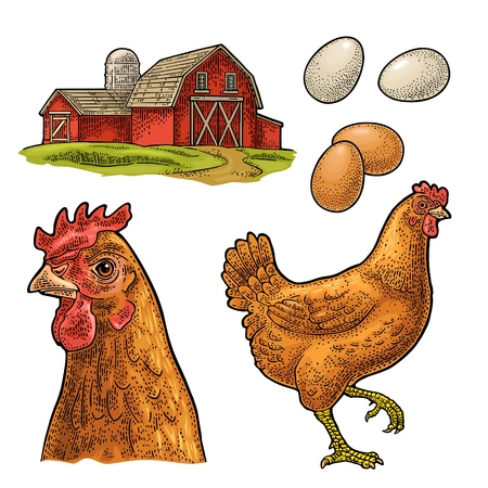 Set chicken. Bird, egg and farm. Vintage color vector engraving illustration for poster and label. Isolated on white background.
