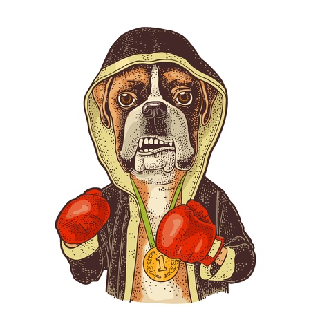 Dog boxer dressed in human in robe, gloves and medal with number 1. Vintage color engraving illustration for poster. Isolated on white background