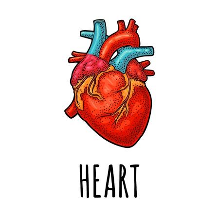 Coeur d'anatomie humaine. Illustration de gravure vintage couleur vecteur isolé sur fond blanc. Pour le Web, l'affiche, le graphique d'informations.