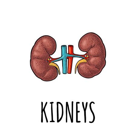 Menselijke nieren. Vectorillustratie kleur vintage gravure geïsoleerd op een witte achtergrond.