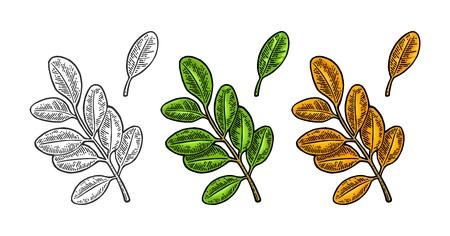 Akazienblatt. Frühlingsgrün und Herbstorange. Vektorfarbe und monochrome Vintage gravierte Darstellung. Isoliert auf weißem Hintergrund